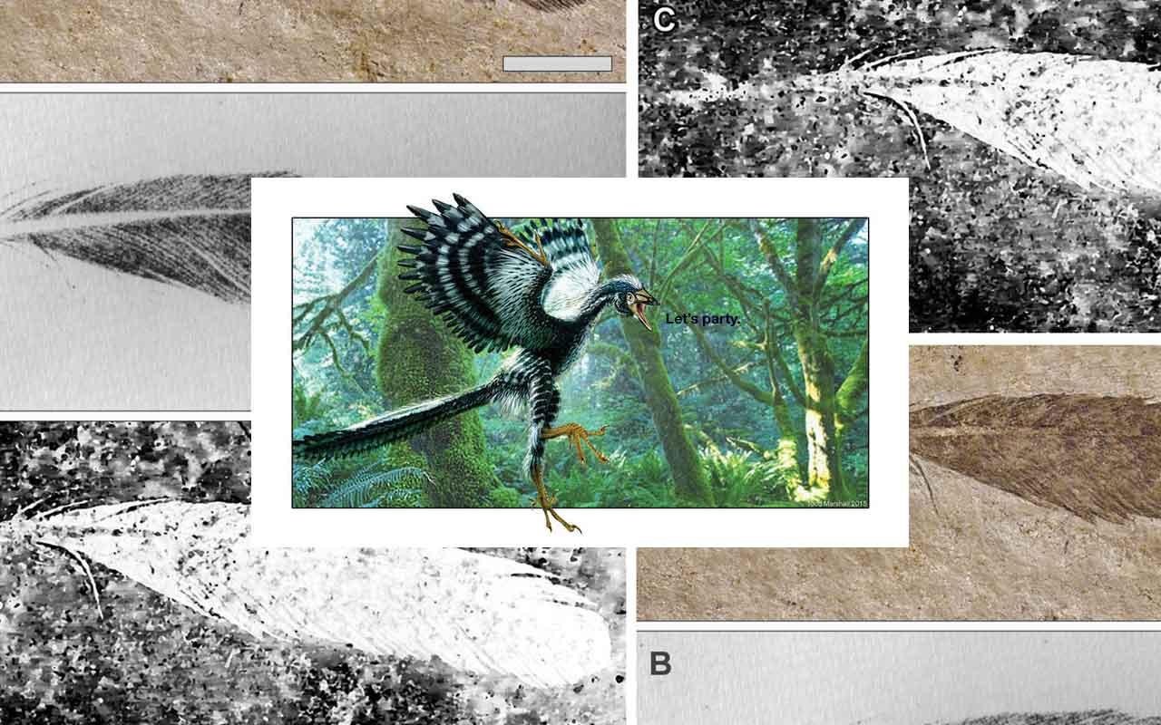 Archaeopteryx: Pena fóssil mais antiga, nova técnica, novos resultados