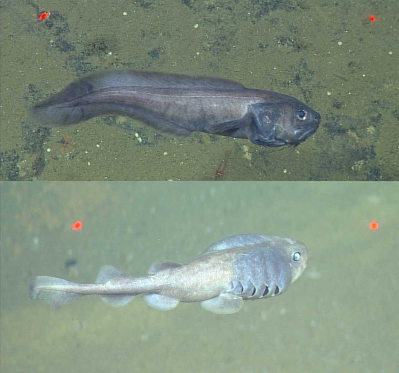 Duas espécies de peixes podem sobreviver nas áreas do Golfo de ...