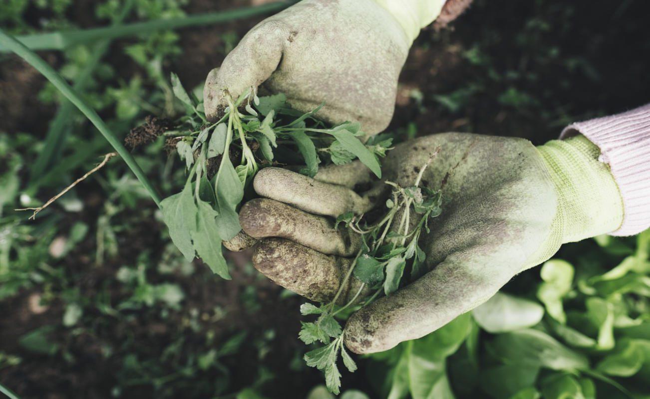 Glifosato assassino de ervas daninhas popular ligado a doença hepática em humanos